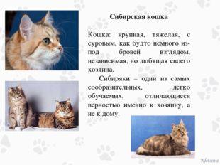 Сибирская кошка Кошка: крупная, тяжелая, с суровым, как будто немного из-под