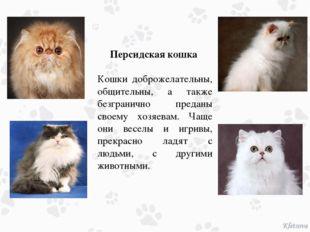 Персидская кошка Кошки доброжелательны, общительны, а также безгранично пред