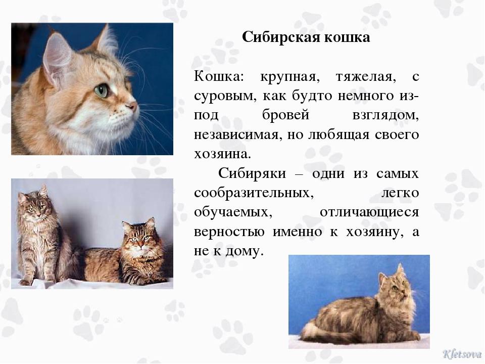 Сибирская кошка Кошка: крупная, тяжелая, с суровым, как будто немного из-под...