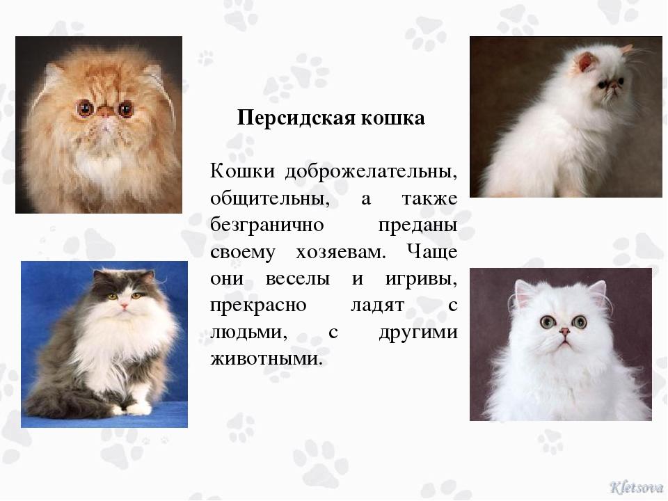 Персидская кошка Кошки доброжелательны, общительны, а также безгранично пред...