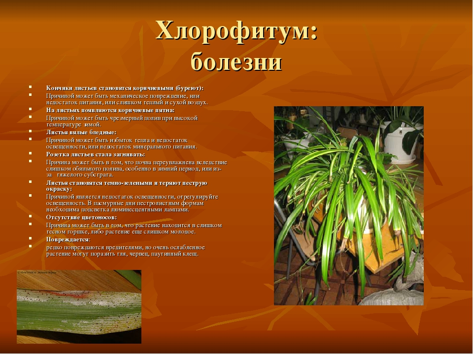 Хлорофитум: болезни Кончики листьев становятся коричневыми (буреют): Причиной...