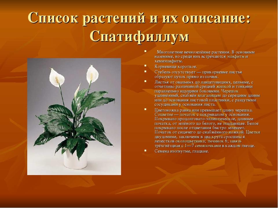 Список растений и их описание: Спатифиллум Многолетние вечнозелёные растения....