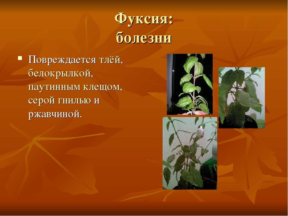 Фуксия: болезни Повреждается тлёй, белокрылкой, паутинным клещом, серой гниль...