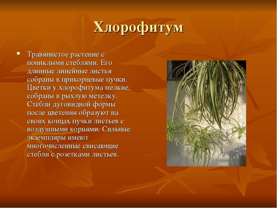 Хлорофитум Травянистое растение с пониклыми стеблями. Его длинные линейные ли...