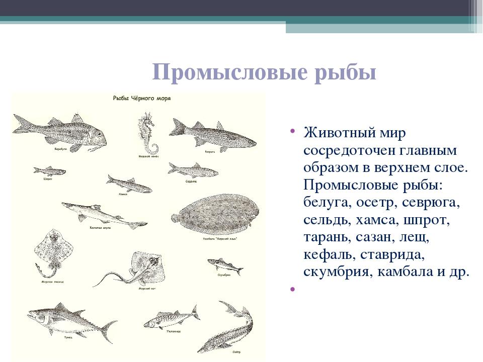 Животный мир сосредоточен главным образом в верхнем слое. Промысловые рыбы: б...