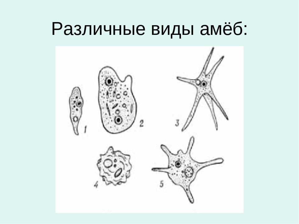 Виды амеб картинки