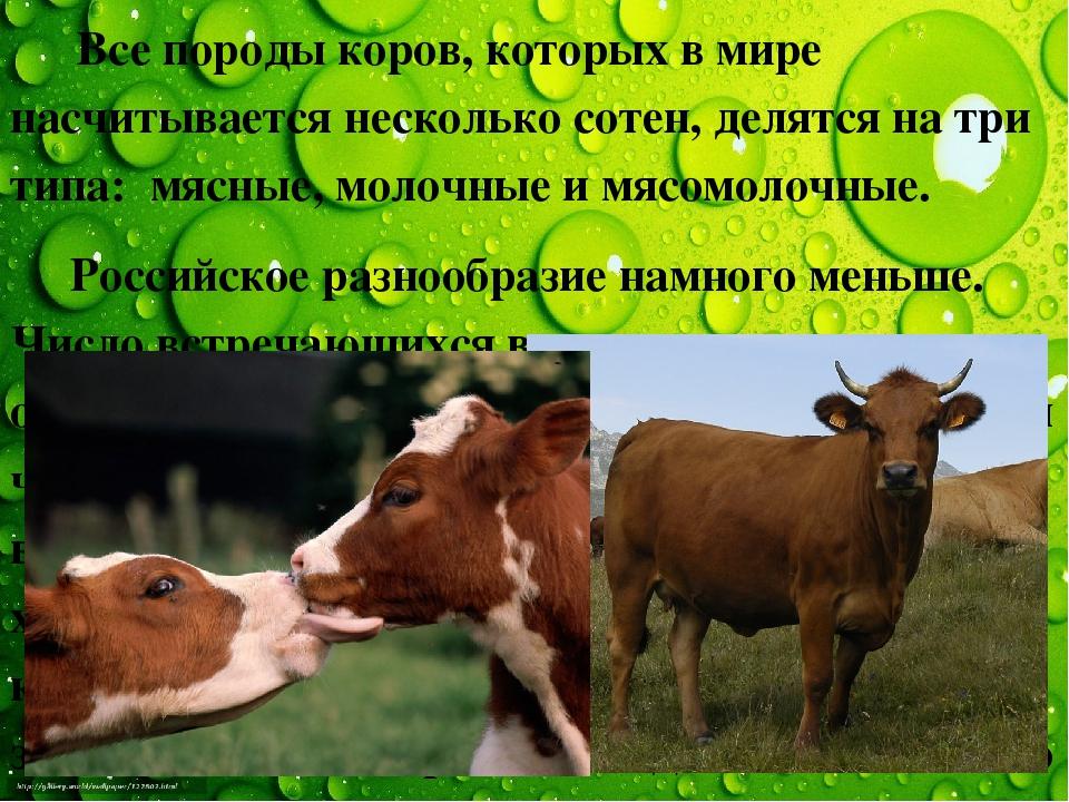 Все породы коров, которых в мире насчитывается несколько сотен, делятся на т...
