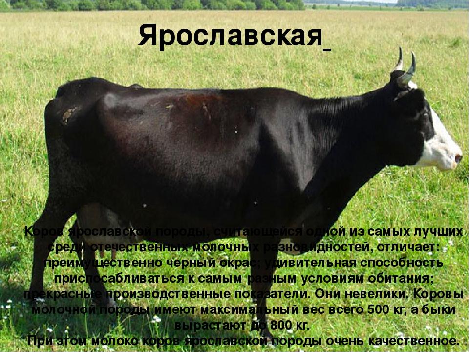 Ярославская Коров ярославской породы, считающейся одной из самых лучших среди...