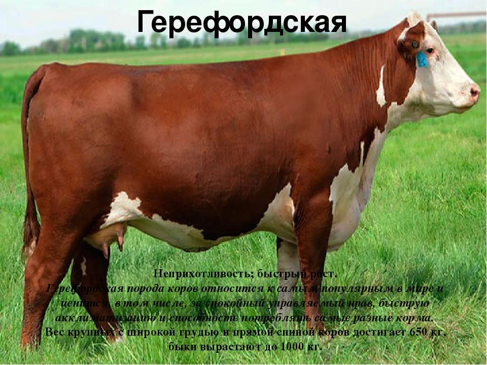 Герефордская Неприхотливость; быстрый рост. Герефордская порода коров относит...