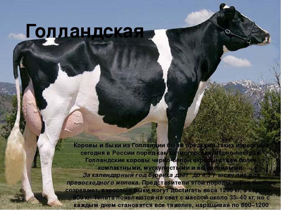 Голландская Коровы и быки из Голландии были предками таких известных сегодня...