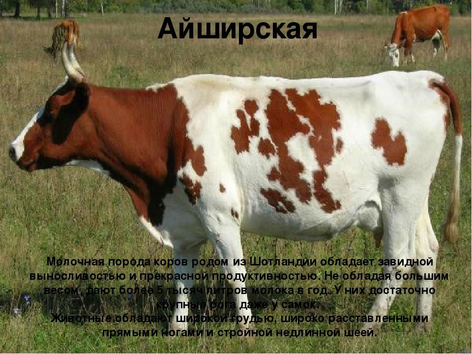 Айширская Молочная порода коров родом из Шотландии обладает завидной вынослив...