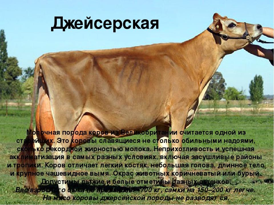 Джейсерская Молочная порода коров из Великобритании считается одной из старей...