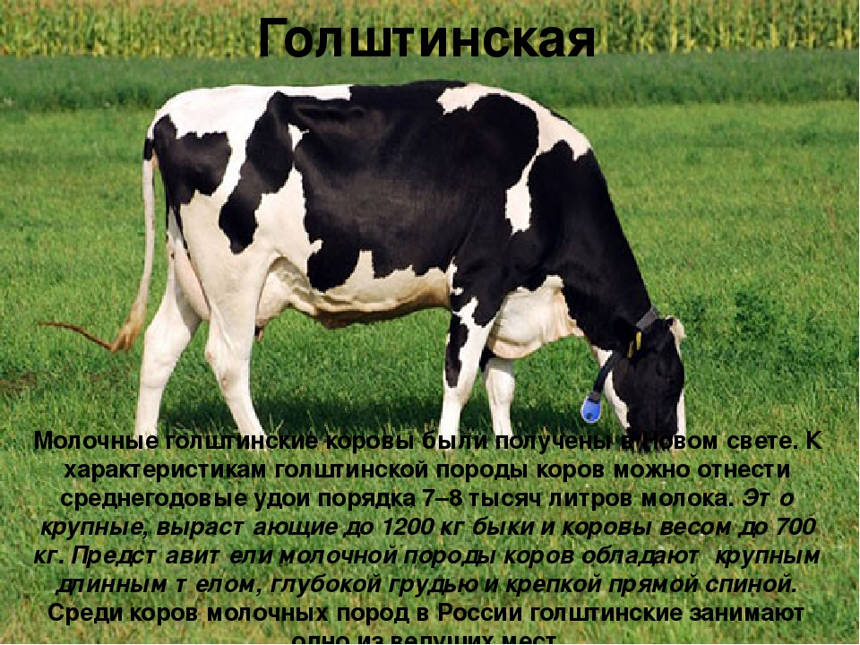 Голштинская Молочные голштинские коровы были получены в Новом свете. К характ...