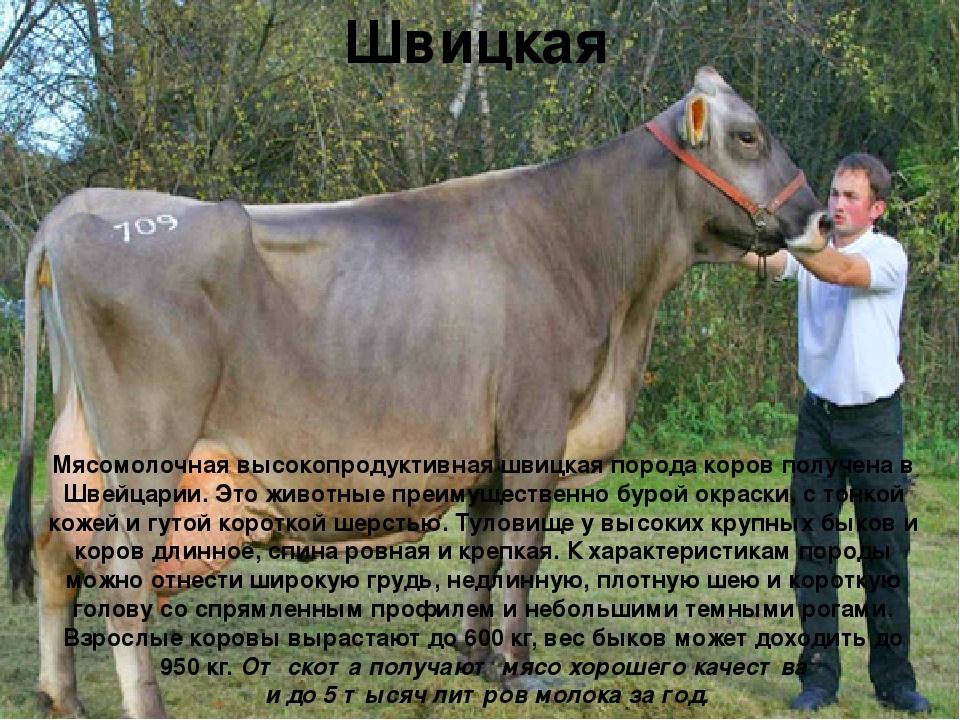 Швицкая Мясомолочная высокопродуктивная швицкая порода коровполучена в Швейц...