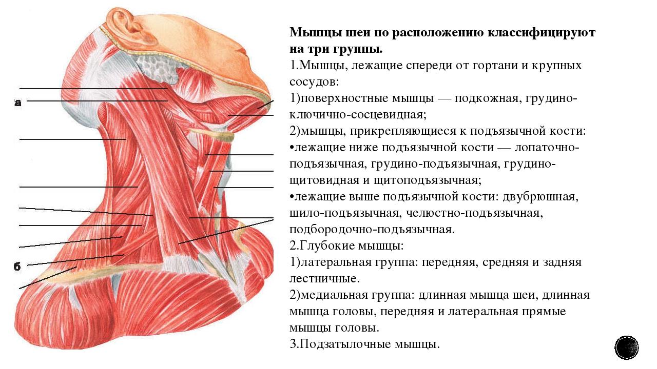 мышцы шеи фото с описанием и схемами раз обращалась ней