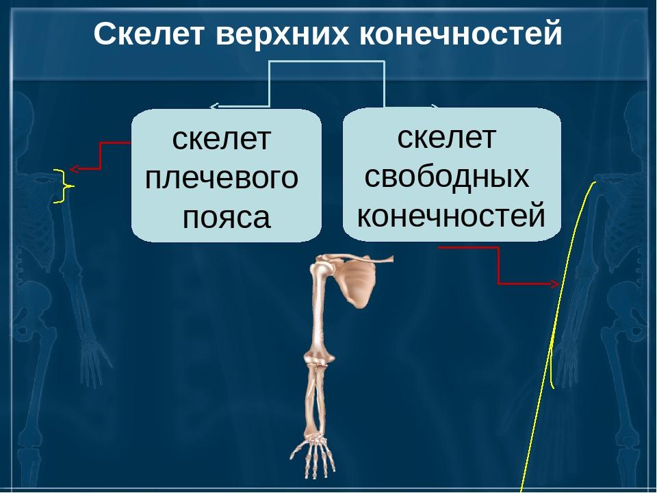 Скелет верхних конечностей скелет плечевого пояса скелет свободных конечностей