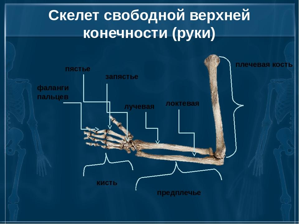 Скелет свободной верхней конечности (руки) плечевая кость предплечье кисть ло...
