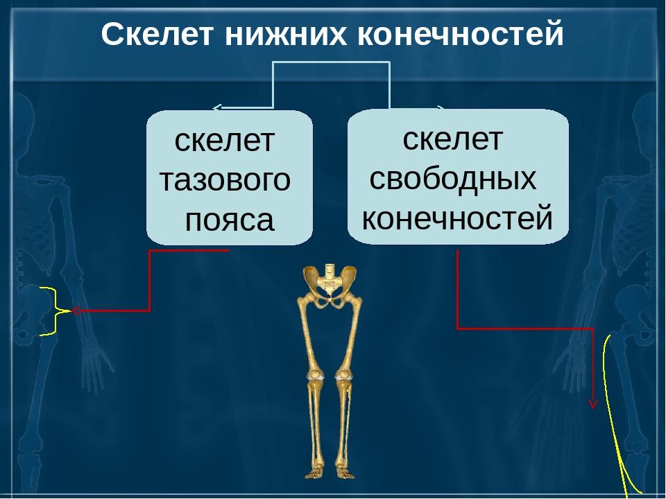 Скелет нижних конечностей скелет тазового пояса скелет свободных конечностей