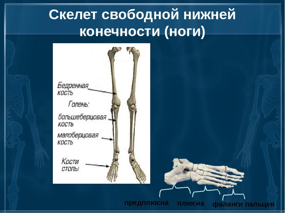 Скелет свободной нижней конечности (ноги) плюсна предплюсна фаланги пальцев
