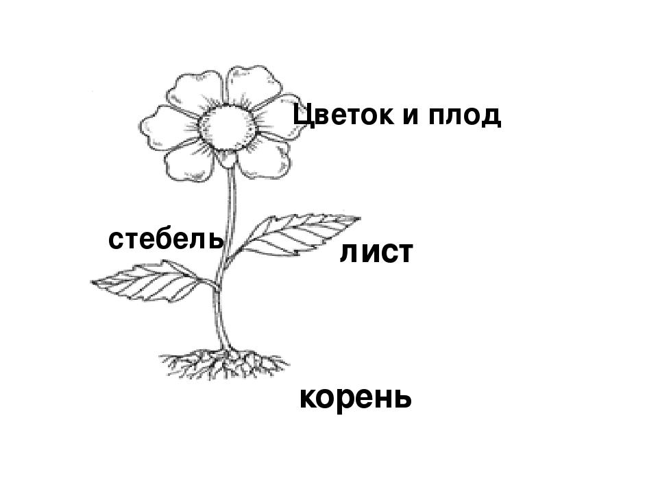 Части растения картинка разрезная