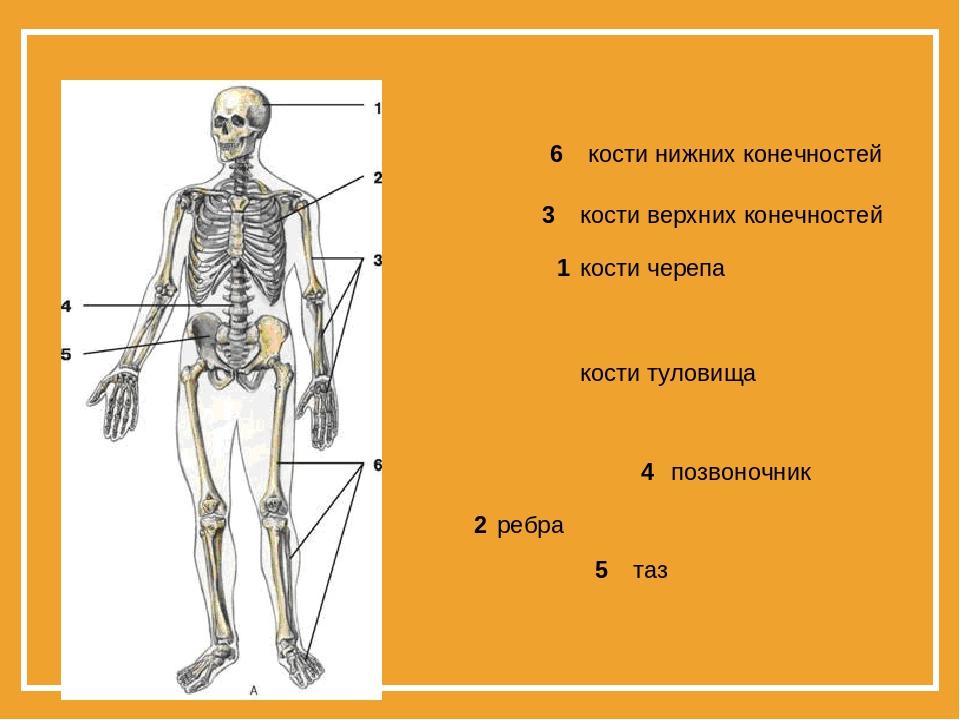 Картинки кости нижних конечностей 6 кости верхних конечностей 3 кости черепа...