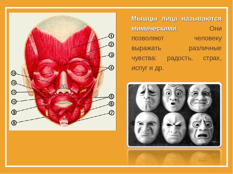 Мышцы лица называются мимическими. Они позволяют человеку выражать различные...