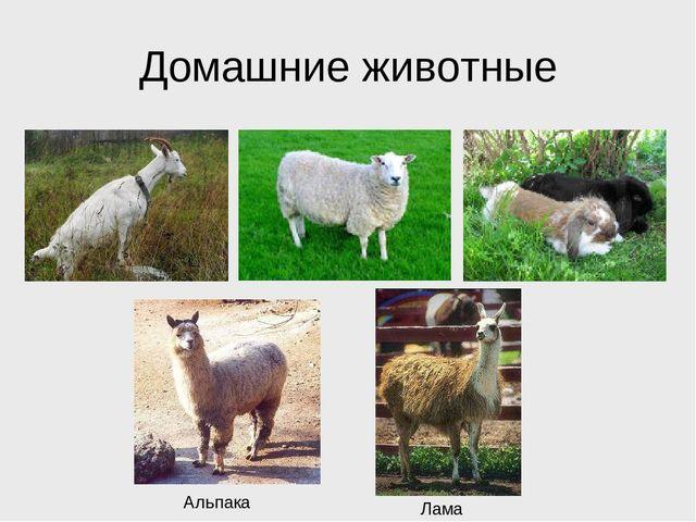 Домашние животные Альпака Лама