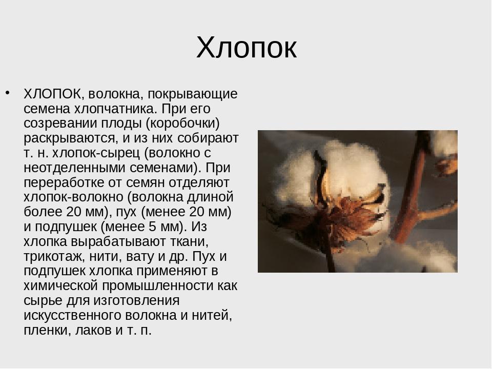 Хлопок ХЛОПОК, волокна, покрывающие семена хлопчатника. При его созревании пл...