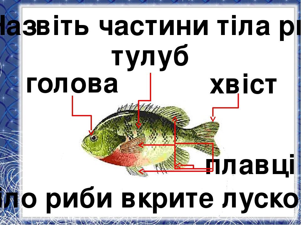 голова тулуб хвіст плавці Назвіть частини тіла риб. Тіло риби вкрите лускою.