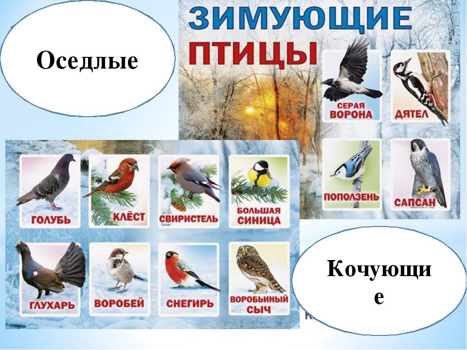 Название зимующих птиц с картинками