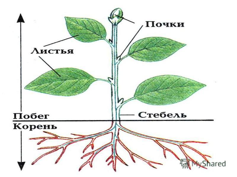 Термины по ботанике для 6 класса