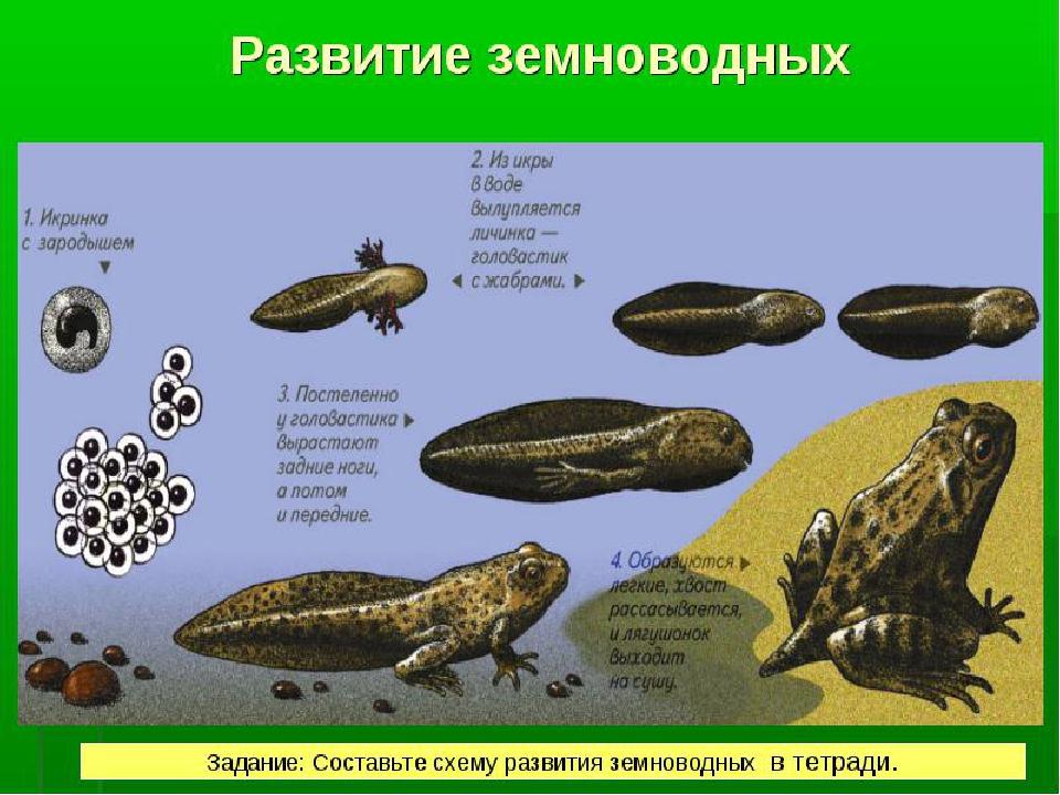 Создать презентацию откуда берутся лягушки