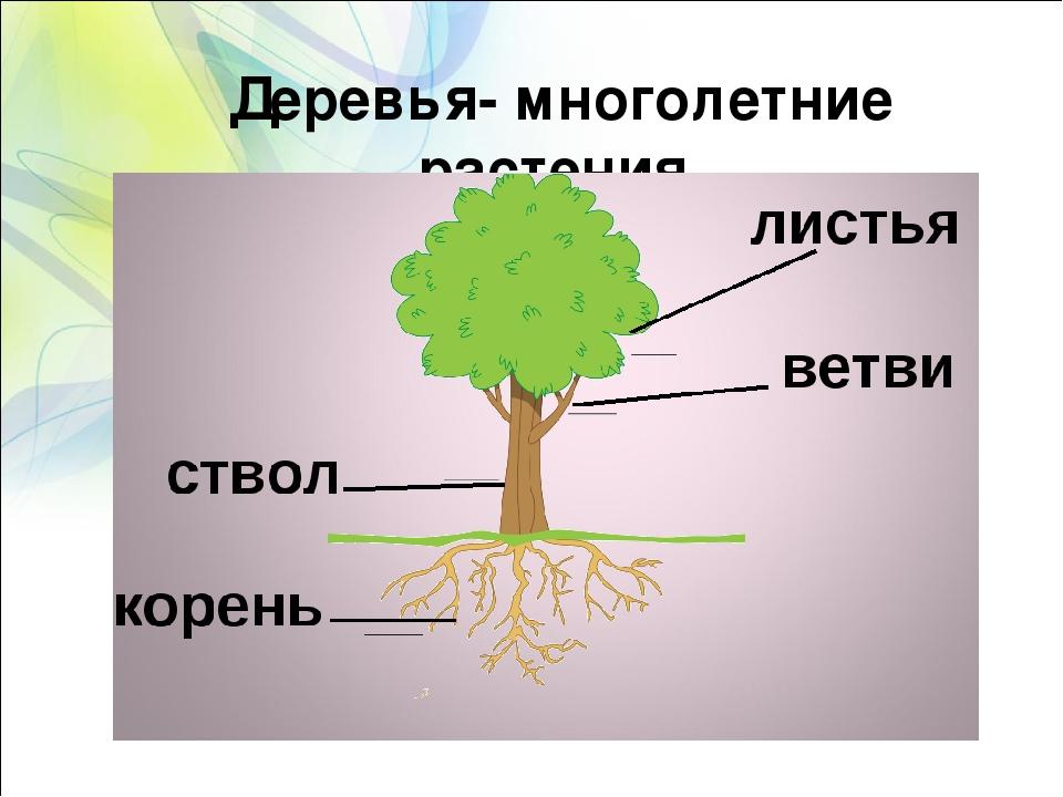 Деревья- многолетние растения. ЛИСТЬЯ СТВОЛ