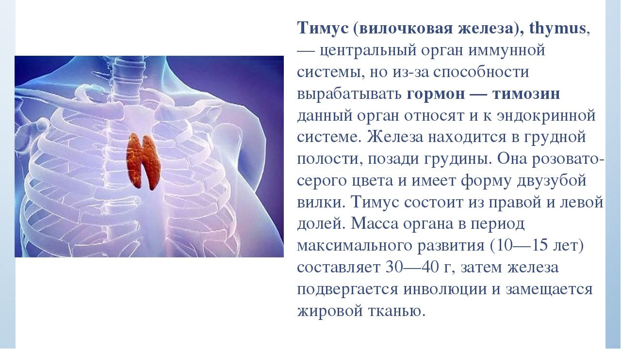 вам всей где находится тимус в человеческом теле фото картофеля скручиваются
