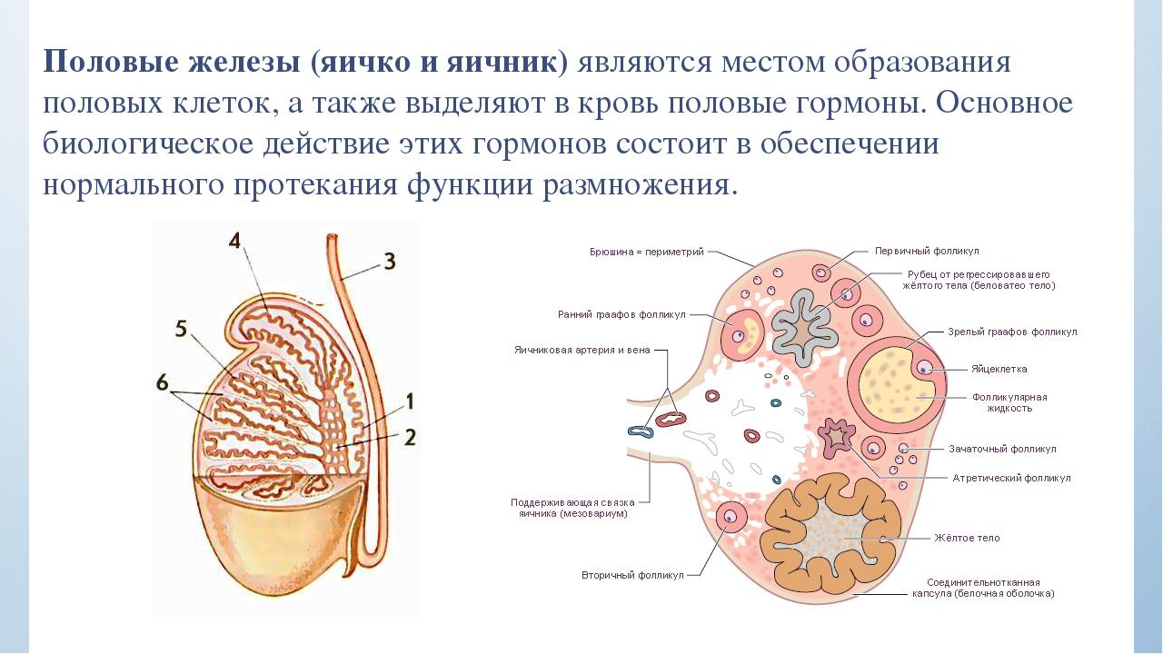 Какие болезни яичек бывают у мужчин фото