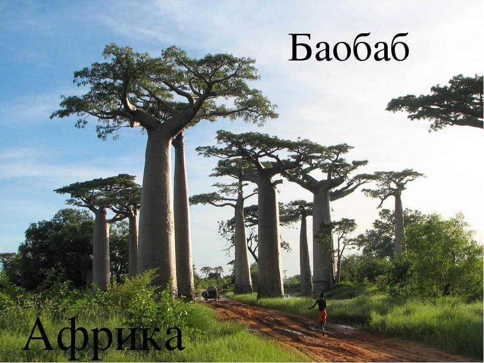 Баобаб Африка
