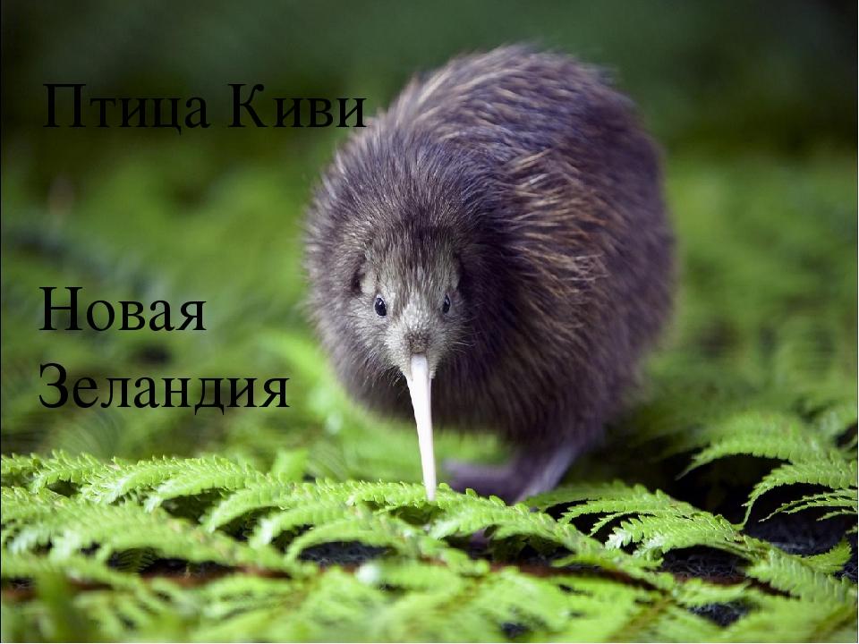 Птица Киви Новая Зеландия