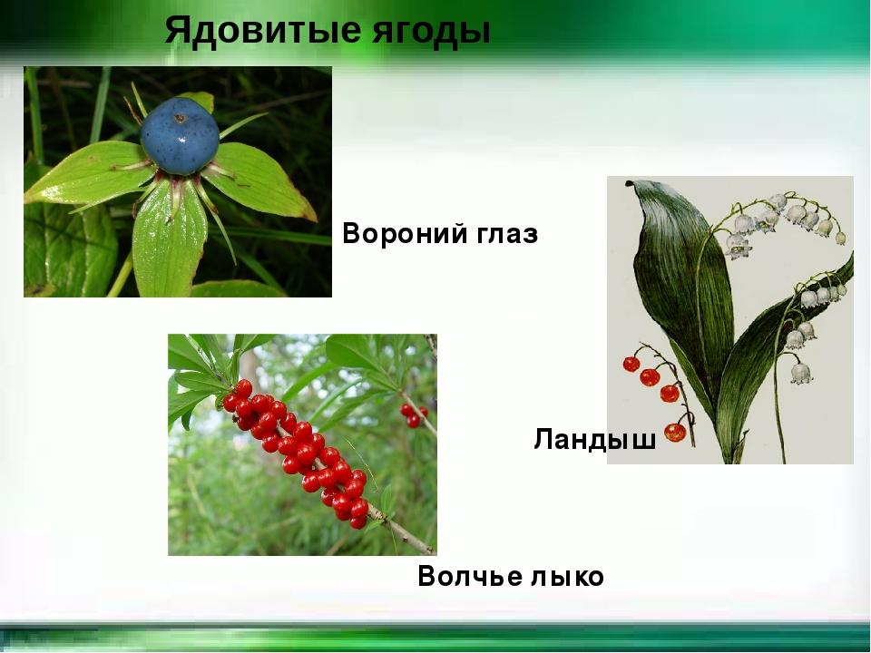 Картинка ядовитых ягод для детей