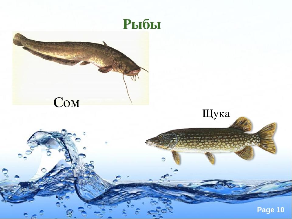 Картинки рыбы сом щука
