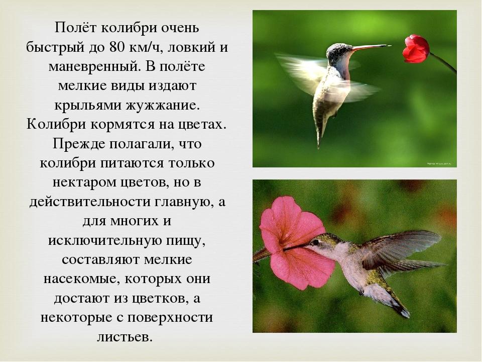 колибри описание птицы как вечеринке