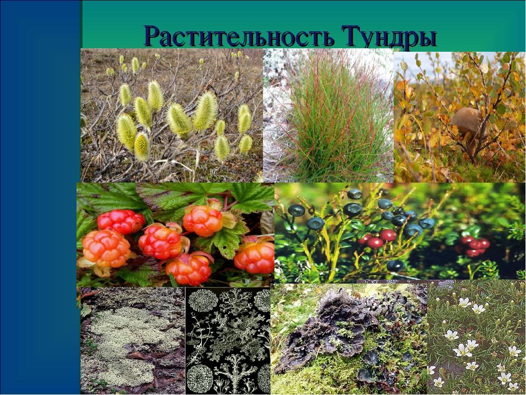 растения тундры список с фото пересчитать такие произведения