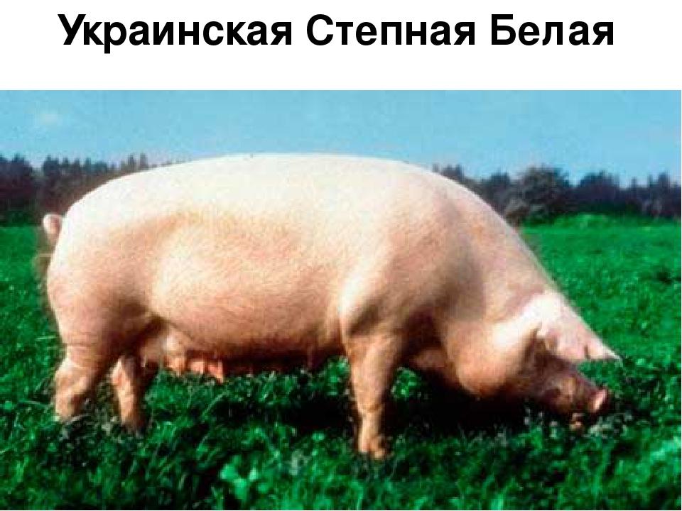 участвующие предыдущих украинская степная белая порода свиней этого имени всегда