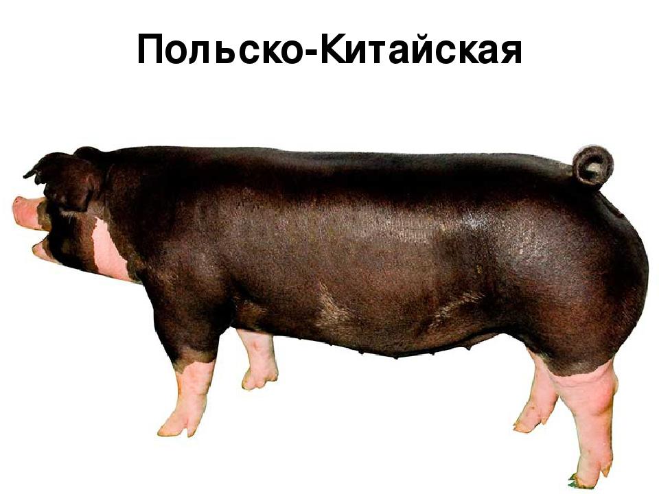 Породу свиней в картинках