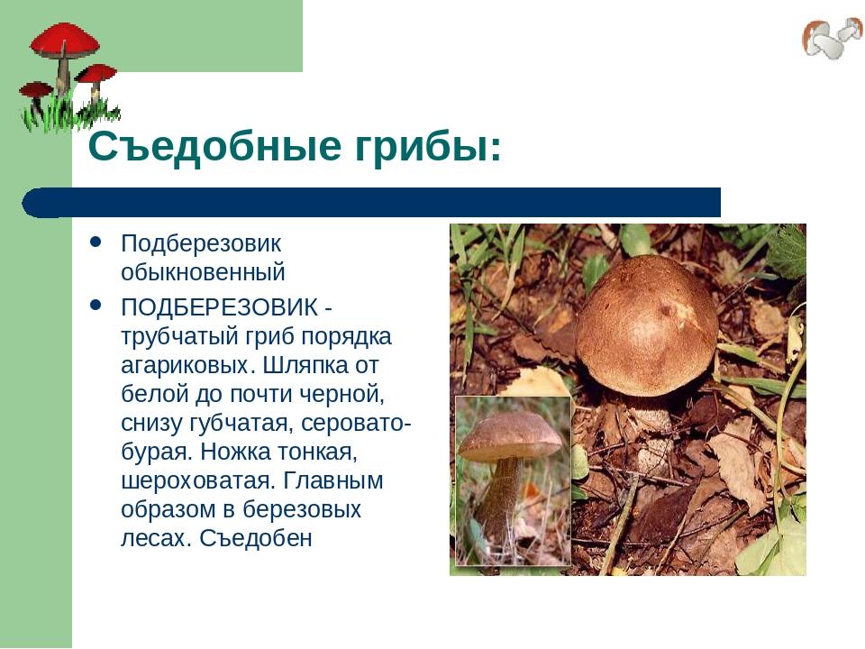 Съедобные грибы: Подберезовик обыкновенный ПОДБЕРЕЗОВИК - трубчатый гриб поря...