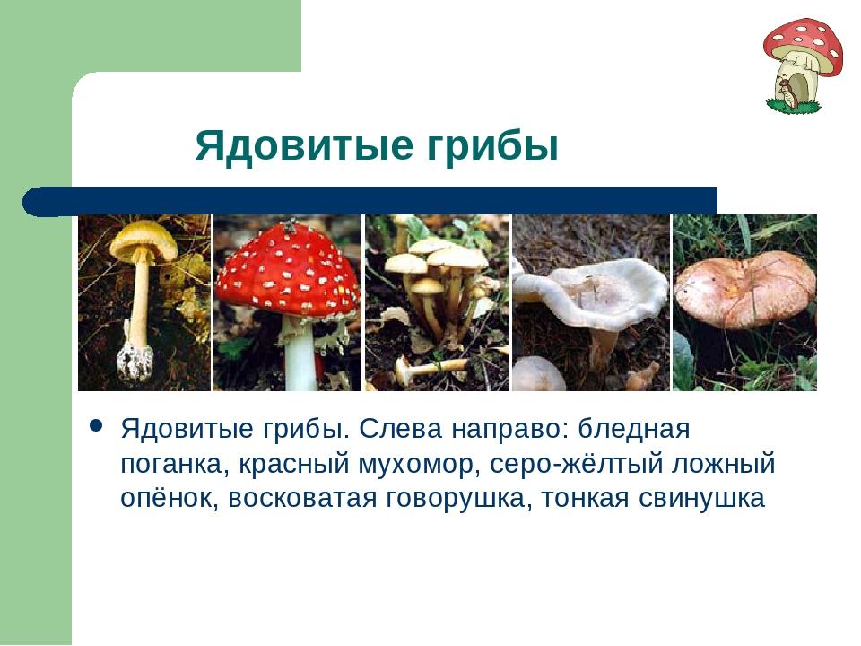 Ядовитые грибы Ядовитые грибы. Слева направо: бледная поганка, красный мухом...