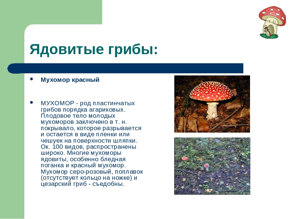 Ядовитые грибы: Мухомор красный МУХОМОР - род пластинчатых грибов порядка ага...