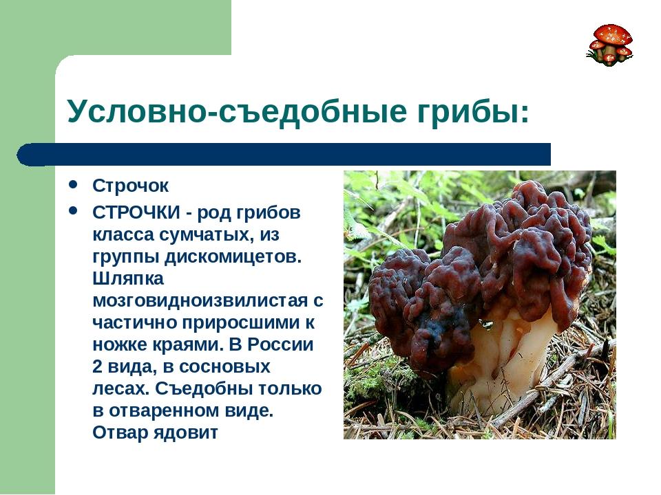 Условно-съедобные грибы: Строчок СТРОЧКИ - род грибов класса сумчатых, из гру...