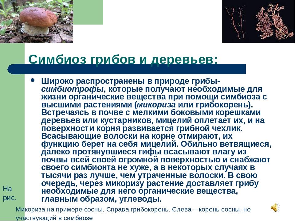 Симбиоз грибов и деревьев: Широко распространены в природе грибы-симбиотрофы,...