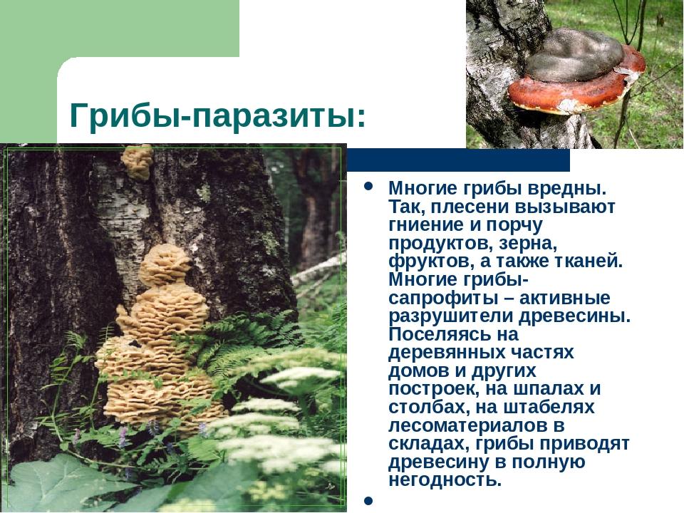 Грибы-паразиты: Многие грибы вредны. Так, плесени вызывают гниение и порчу пр...