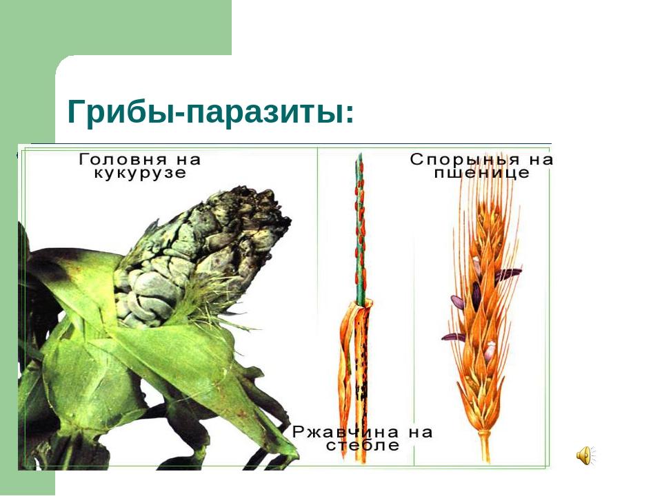 Грибы-паразиты: